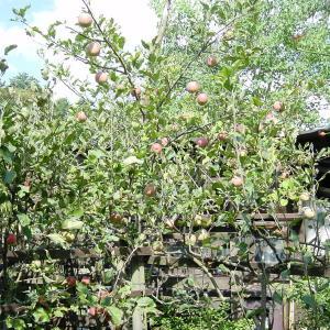 袋を外したリンゴの「ふじ」と、手前は、アルプス乙女
