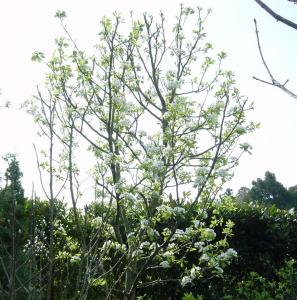 西洋梨の花が満開
