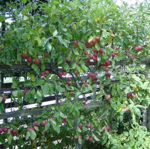 アルプス乙女りんごが真っ赤に熟す。
