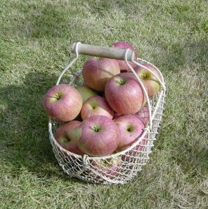 りんご(ふじ)を収穫