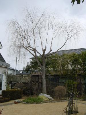 枝きりしてすっきりした大きな柳
