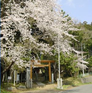 ぬまお神社前の桜